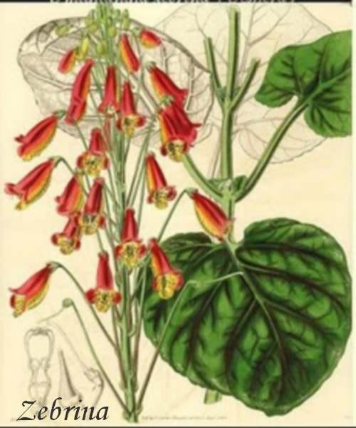 Plantes d'Intérieur : SMITHIANTHA (Gesnériacées)
