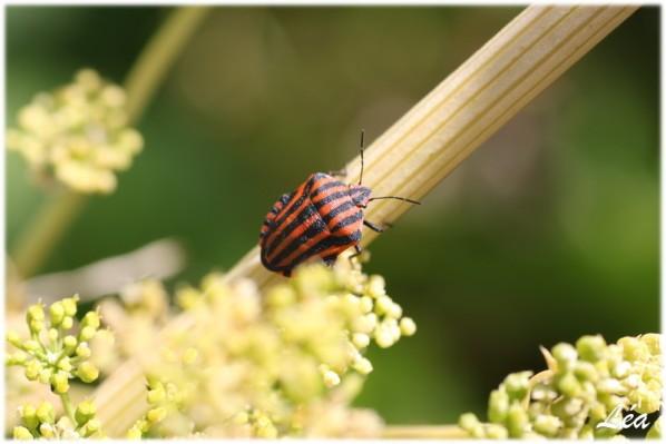 Insectes-2-2299-le-graphosome-italien.jpg