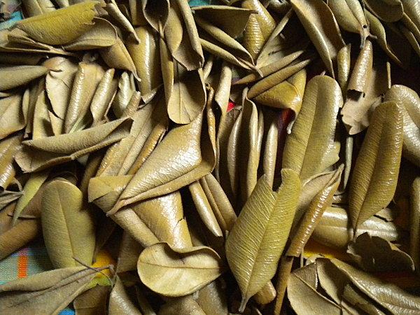 Feuilles graines de bois d'Inde 006