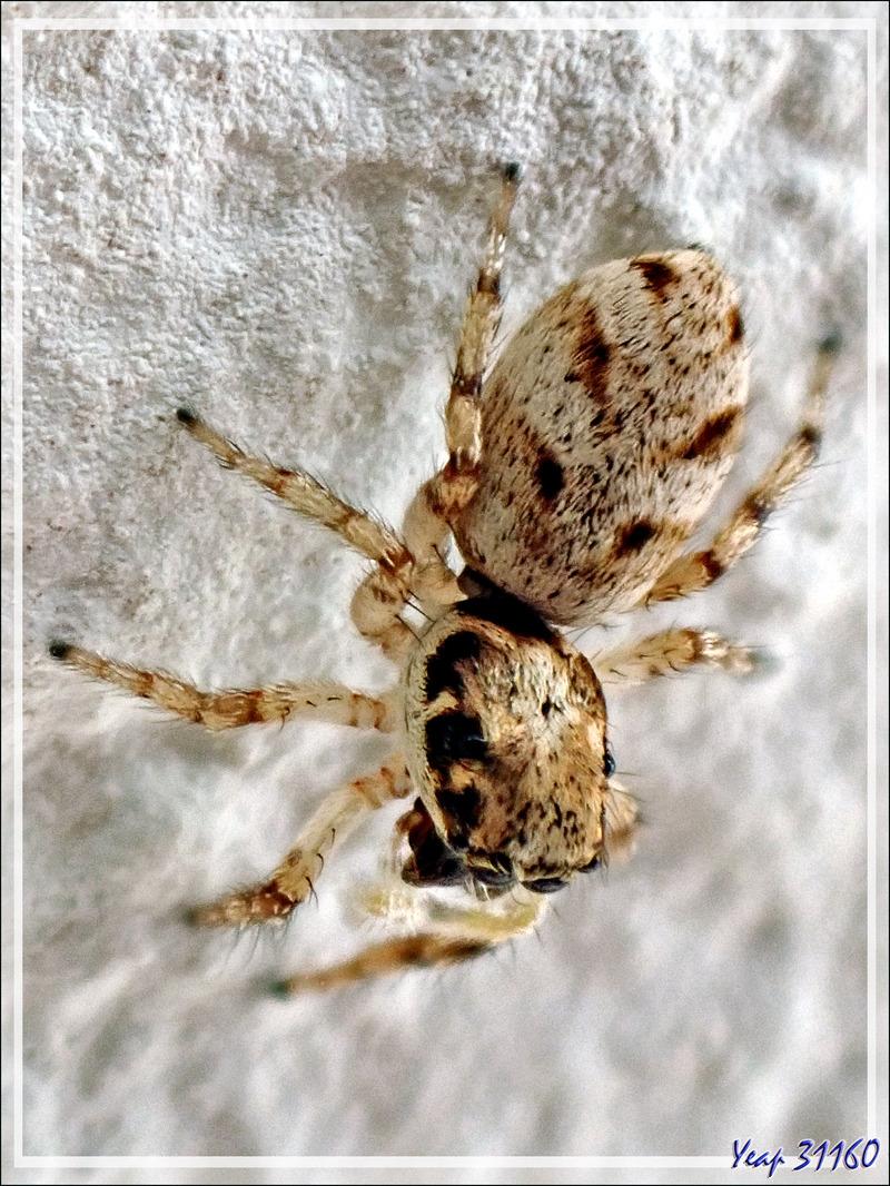 Araignée femelle Saltique arlequin ou chevronnée (Salticus scenicus) - La Couarde-sur-Mer - Ile de Ré - 17