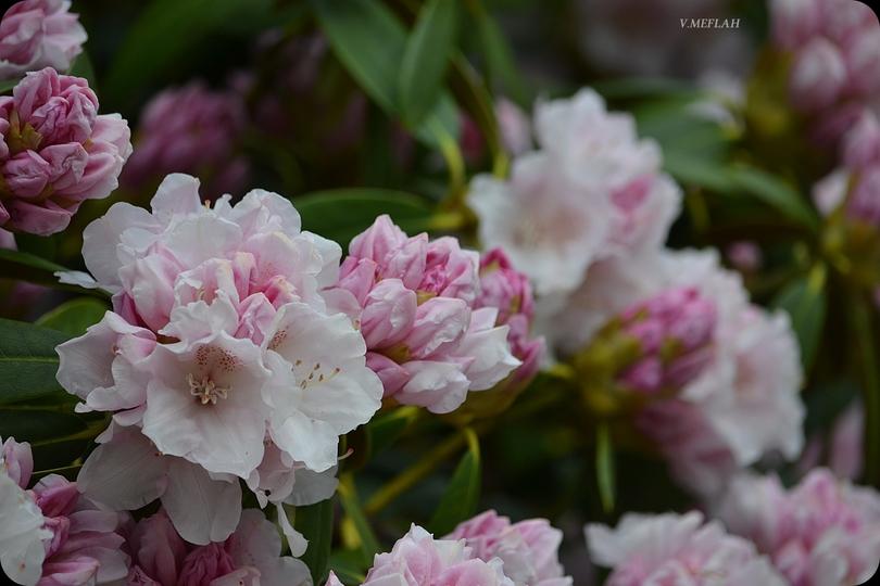 Parc du château de Rambouillet : Les rhododendrons