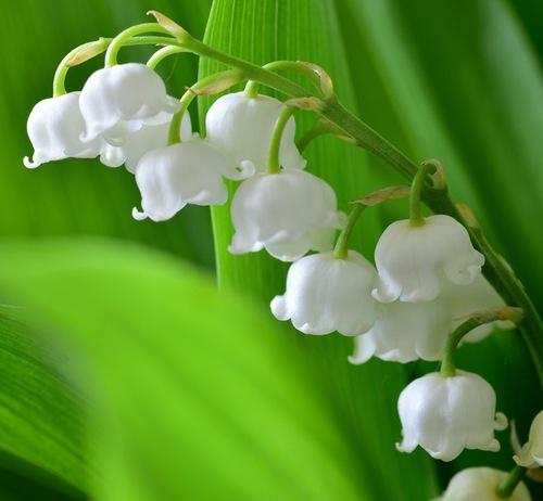 Fleurs cultivées : Muguet