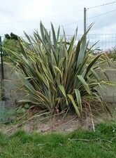 phormium tenax variegata ?