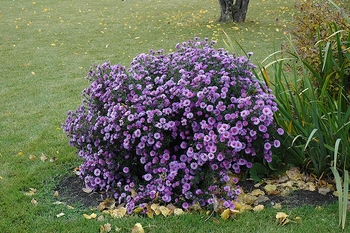 Aster novae-angliae Purple Dome