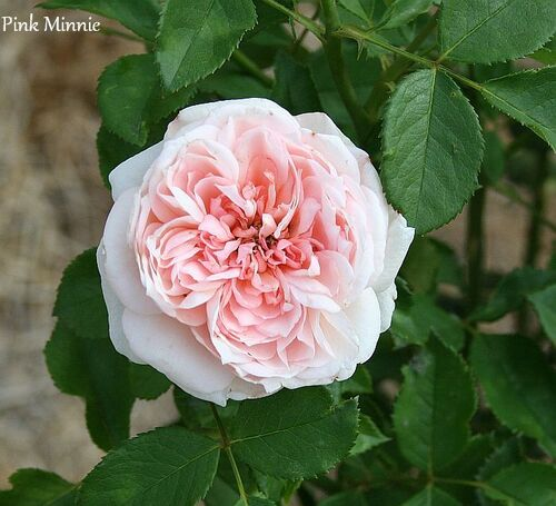 Les Roses de Warren : Pink Minnie