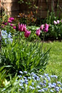 Tulipes Purple Dream8