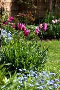 Tulipes Purple Dream8