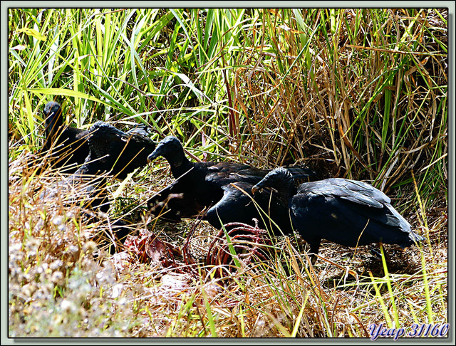 Blog de images-du-pays-des-ours : Images du Pays des Ours (et d'ailleurs ...), La curée des vautours Urubus noirs - La Palma - Puerto Jiménez - Costa Rica