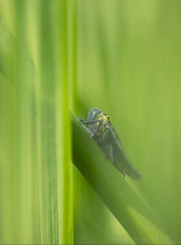 Cicadella viridis ♀