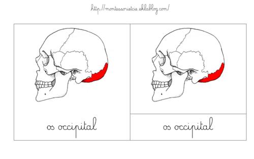 {Nomenclatures] Les os du crâne