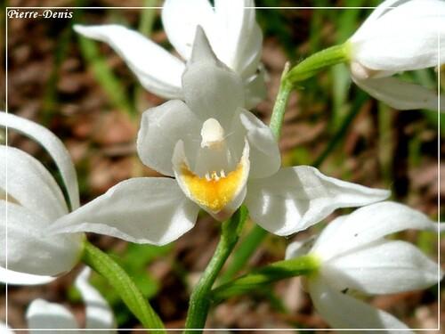 quand pierre-denis rencontrait de belles orchidées ....