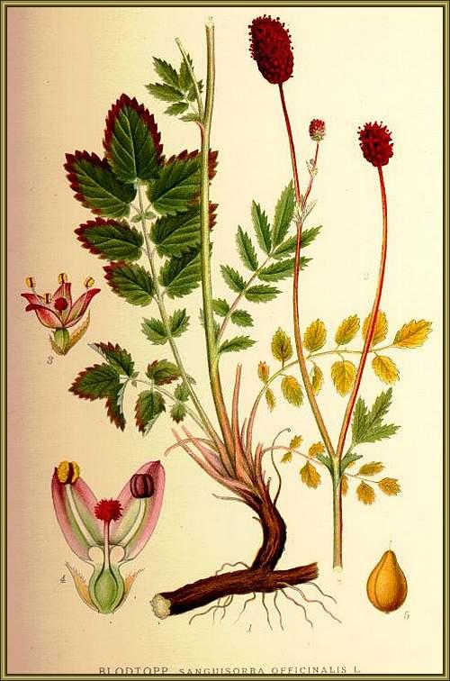 Vertus médicinales des plantes sauvages : Sanguisorbe Officinale