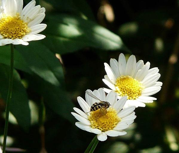 Guepe-sur-chrysanthemum-30-07-11-003.jpg