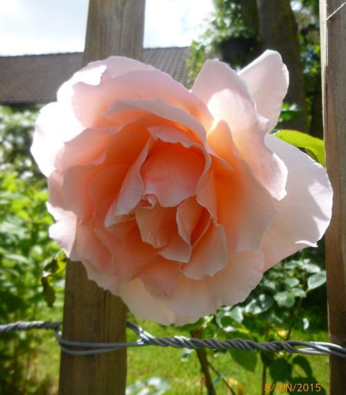 Encore des roses!