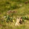Marmottes du Puy Mary