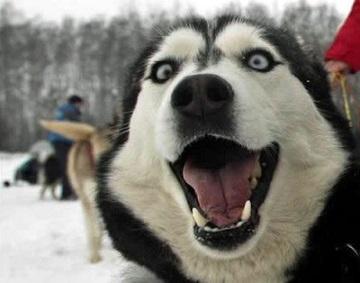 Le husky chien clown???