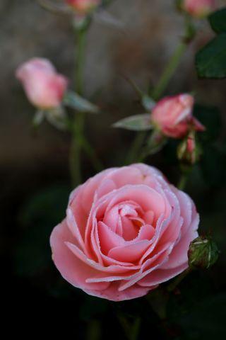 Encore bien des roses à la Roseraie