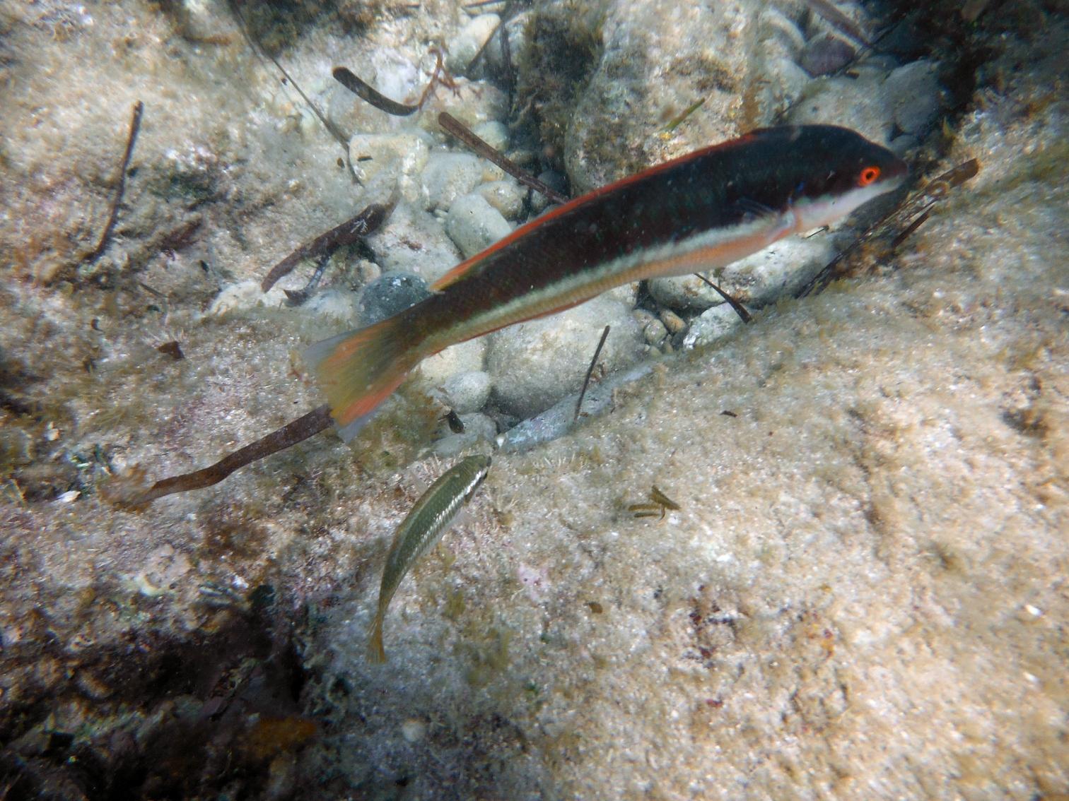 http://ekladata.com/bBsvz5zxSHIZPQuB55gGowc95DE/cap-rousset-30-08-2015-girelle-et-petit-poisson-low.jpg