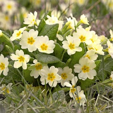 Primevères, ouverture du printemps ...