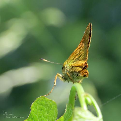Hesperide Ochlodes venatus mâle