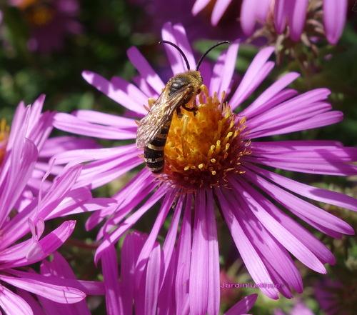 Les pollinisateurs du jardin.