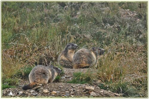 La marmotte est un petit animal qui, pendant tout l'hiver, prend sa température avec son nez.