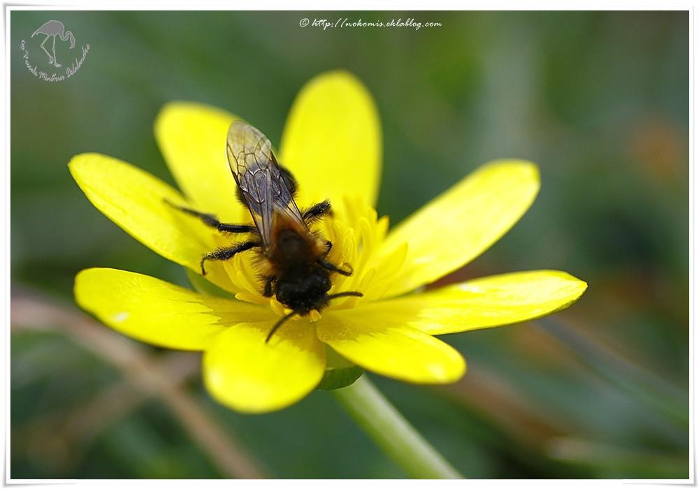 Andrène mâle - apoïdae - abeille solitaire