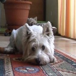 westie agility chien video