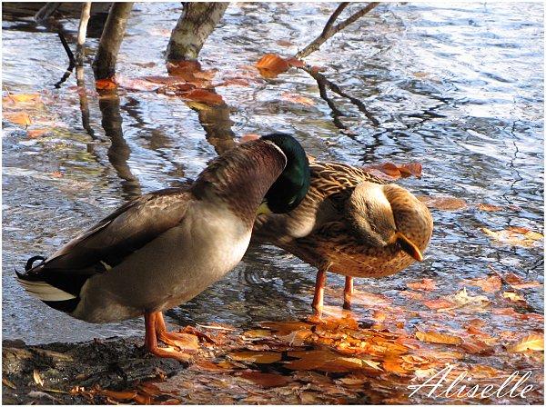 Deux-canards-5.jpg