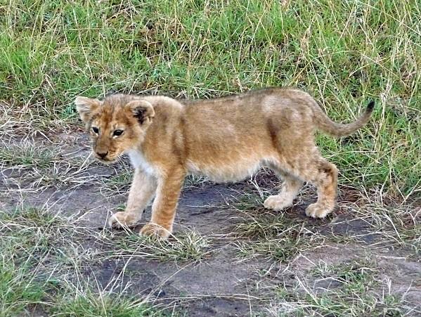 bébé lionceau