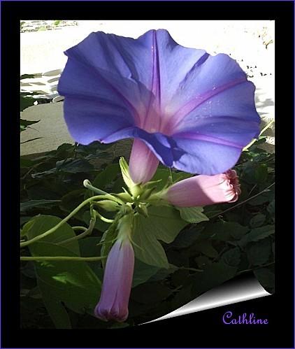 fleur-d-ipomee.grandiflora-JPG.jpg
