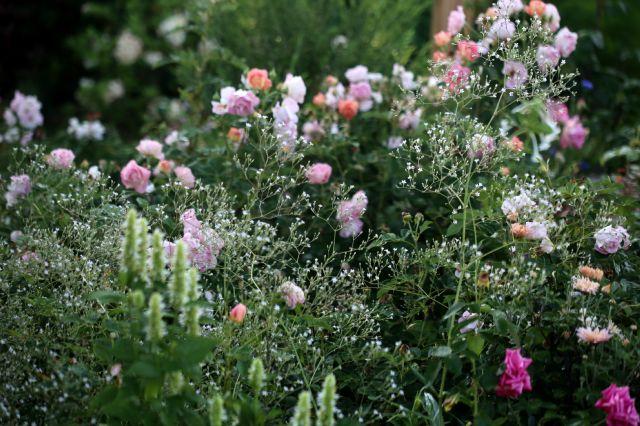 Des compagnes pour mes roses : Gypsophila