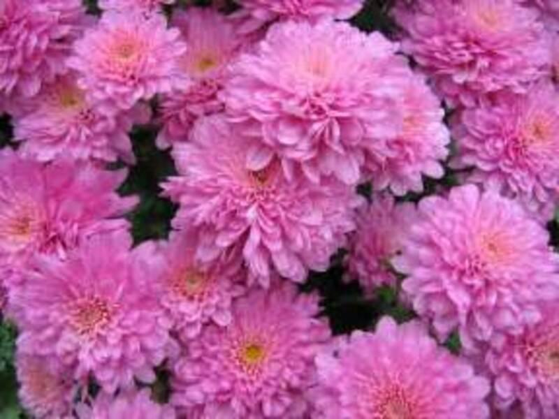 Résultat d'images pour Chrysanthemum ×grandiflorum)