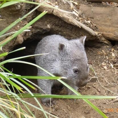 Wombat - Bébé de 7 mois - Tasmanie - 7 Décembre 2013