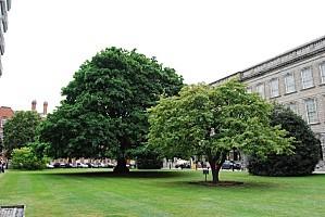Dublin---Trinity-College---arbres.jpg
