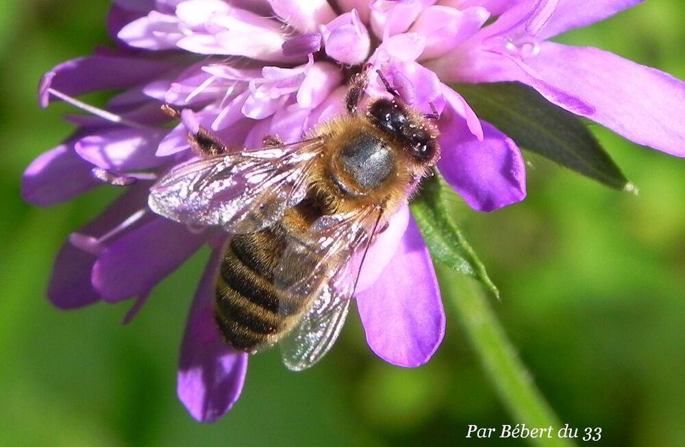 abeilles et fleurs en macros