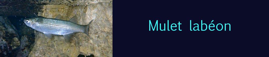 mulet labéon