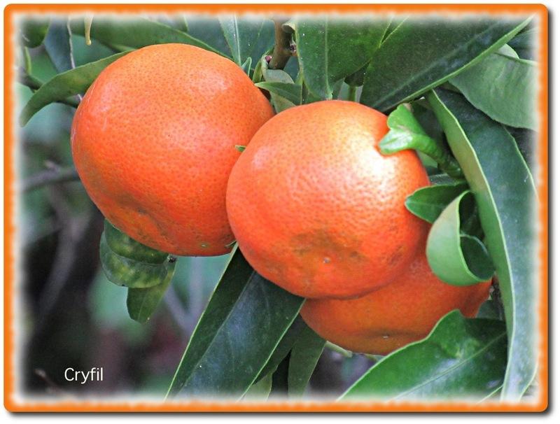 Voilà venu le temps des mandarines