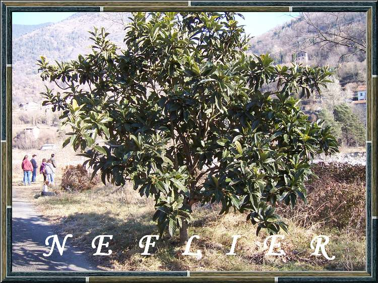 Vertus médicinales des arbres : NEFLIER