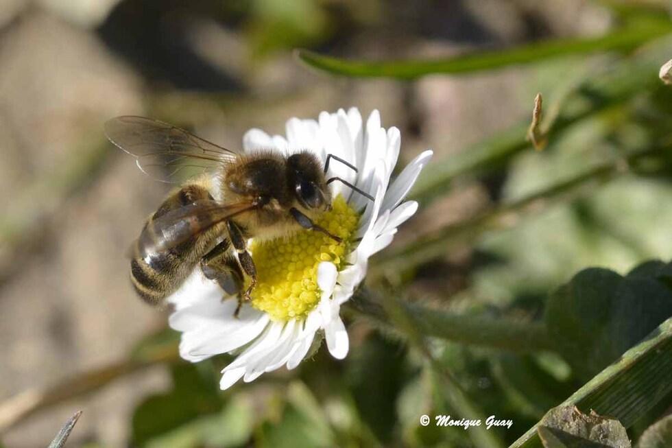 Première abeille de l'année