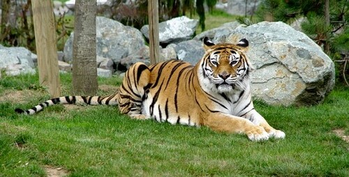 Tigres sauvages