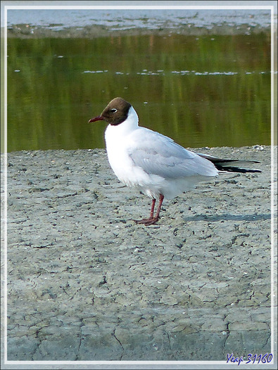 Mouette rieuse, Black-headed Gull (Chroicocephalus ridibundus) - Ars-en-Ré - Île de Ré - 17