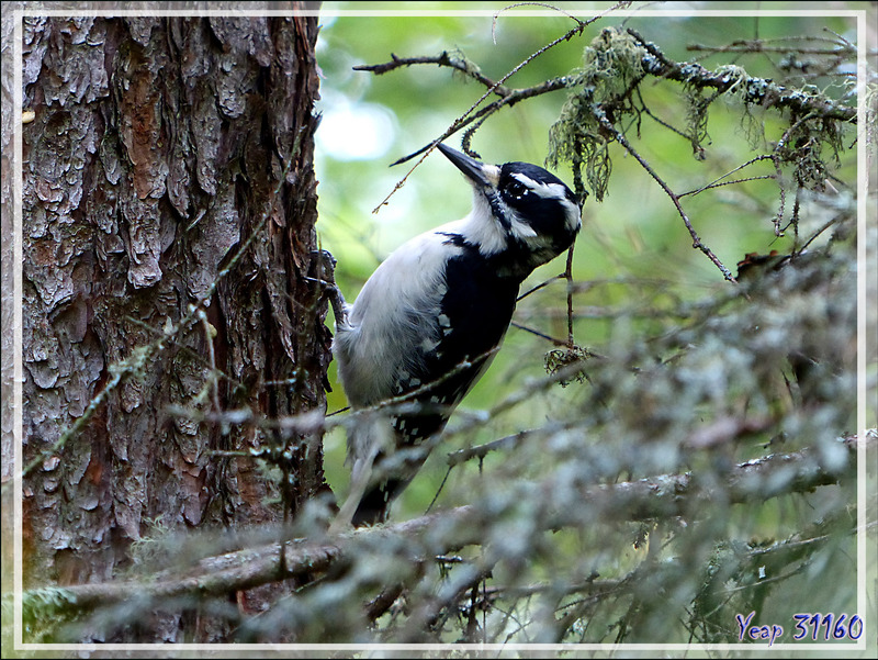 Pic mineur, Downy Woodpecker (Picoides pubescens) - La Tuque - Québec - Canada