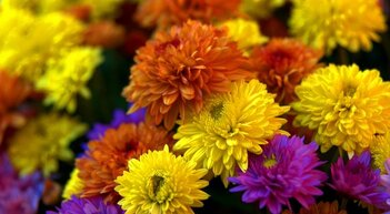 **  NOVEMBRE &  les CHRYSANTHEMES**