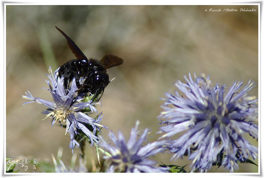 Abeille charpentière ou Xylocope (Xylocopa violacea)