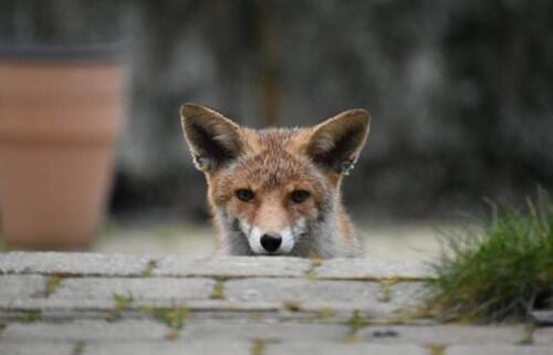 Les aventures du renard et du chat... à Woluwe-Saint-Lambert