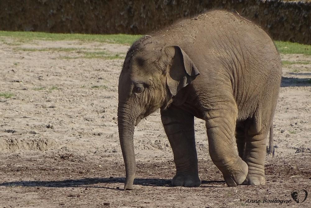 Quand Baby eléphant prend son indépendance