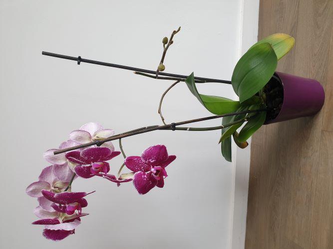 MES ORCHIDEES et MON BONSAI