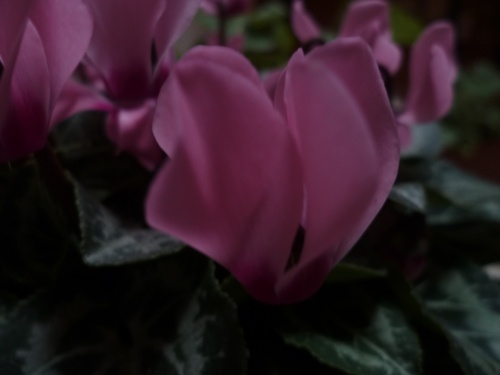 Underwood Cyclamens