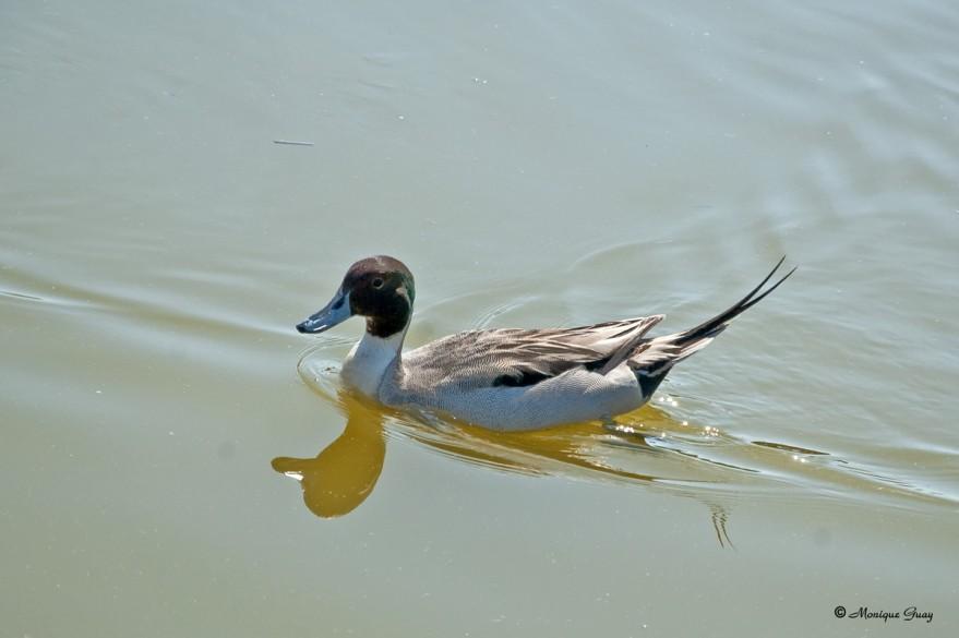 canard-pilet-male-2680.jpg